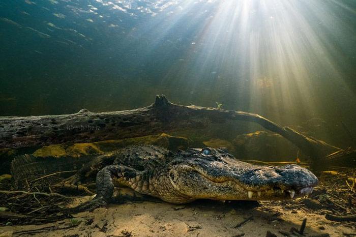 کروکدیل تمساح زیر آب