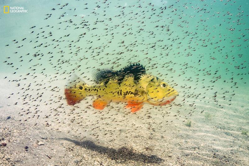 طاووس ماهی و بچه ها