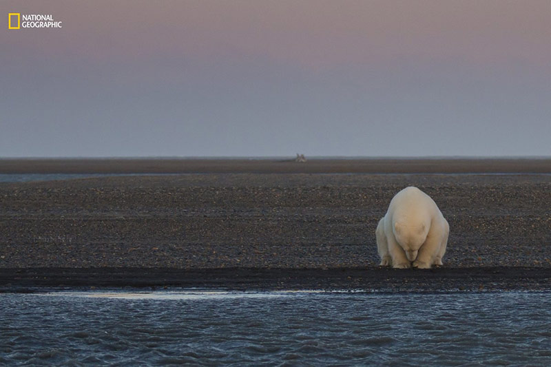 خرس قطبی غمگین