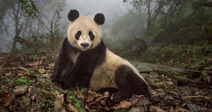 پاندا خرس محبوب طبیعت