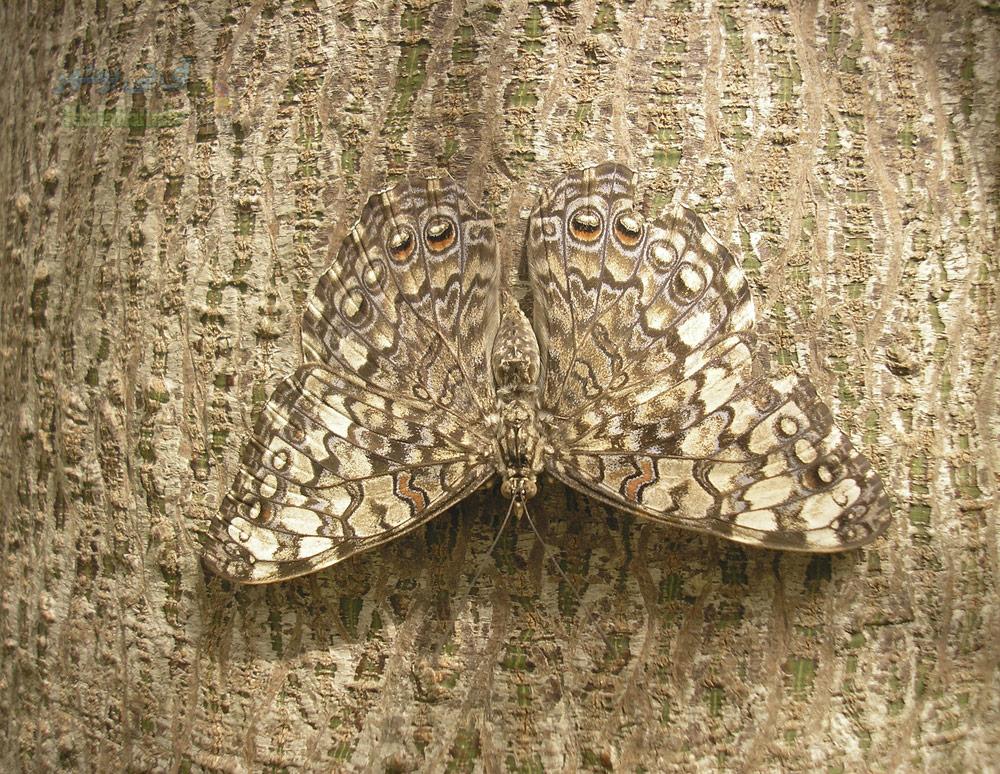 پروانه بال زیبا