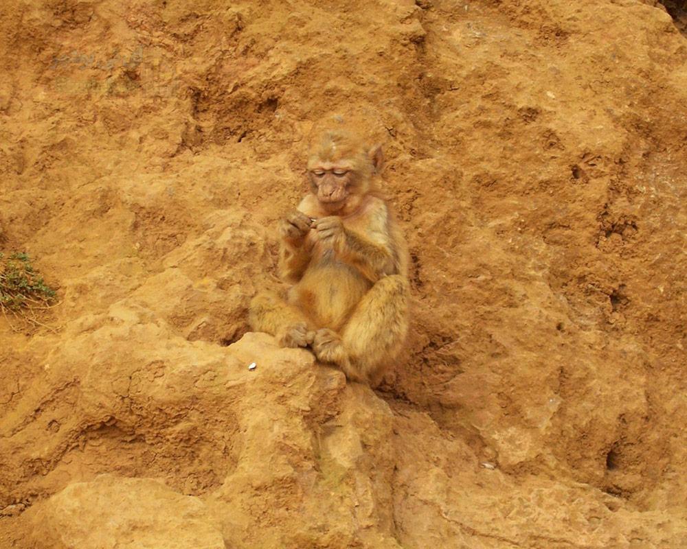 میمون زرد زیبا